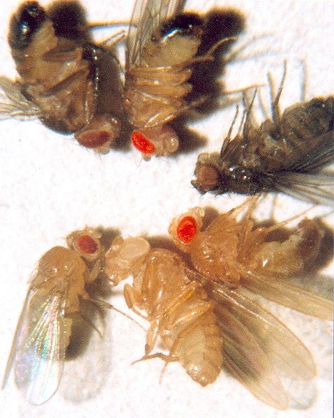 A variety of fruit fly mutants.  The white-eyed mutation that Morgan observed is at bottom middle.